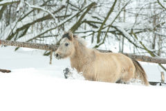 Adorable and cute bay pony running in winter Stock Images