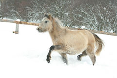 Adorable and cute bay pony running in winter Royalty Free Stock Image