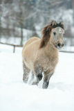 Adorable and cute bay pony running in winter Royalty Free Stock Photos