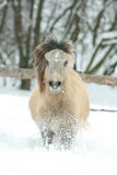 Adorable and cute bay pony running in winter Stock Image