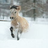 Adorable and cute bay pony running in winter Stock Photos