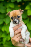 Adorable cute chihuahua puppy in a hand Stock Photo
