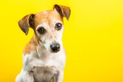 Adorable cute dog on yellow background. Adorable cute dog Jack Russell terrier on yellow background. Lovely pet royalty free stock photography