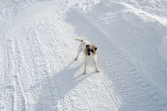 An adorable cute dog with a surprised look on the snow covered landscape in winter in the alps switzerland Stock Photography