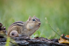 Adorable and cute Eastern Chipmunk looks attentive in a woodland autumn scene Stock Photography