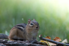 Adorable and cute Eastern Chipmunk stands at attention in a soft woodland scene Royalty Free Stock Photos