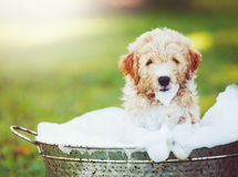 Adorable Cute Golden Retriever Puppy Royalty Free Stock Photography