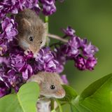 Adorable cute harvest mice micromys minutus on pink flower foliage with neutral green nature background. Cute harvest mice micromys minutus on pink flower stock images