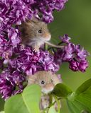 Adorable cute harvest mice micromys minutus on pink flower foliage with neutral green nature background. Cute harvest mice micromys minutus on pink flower stock photography