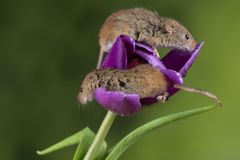 Adorable cute harvest mice micromys minutus on purple tulip flower foliage with neutral green nature background. Cute harvest mice micromys minutus on purple stock photography