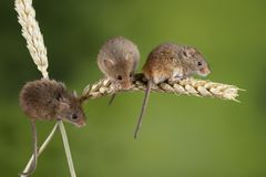 Adorable cute harvest mice micromys minutus on wheat stalk with neutral green nature background. Cute harvest mice micromys minutus on wheat stalk with neutral stock images