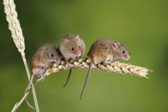 Adorable cute harvest mice micromys minutus on wheat stalk with neutral green nature background. Cute harvest mice micromys minutus on wheat stalk with neutral stock image