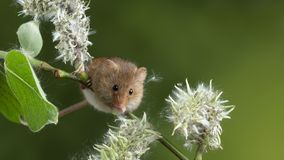 Adorable cute harvest mice micromys minutus on white flower foliage with neutral green nature background. Cute harvest mice micromys minutus on white flower royalty free stock photo