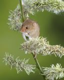 Adorable cute harvest mice micromys minutus on white flower foliage with neutral green nature background. Cute harvest mice micromys minutus on white flower stock photos