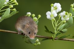 Adorable cute harvest mice micromys minutus on white flower foliage with neutral green nature background. Cute harvest mice micromys minutus on white flower stock photo