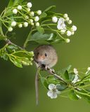 Adorable cute harvest mice micromys minutus on white flower foliage with neutral green nature background. Cute harvest mice micromys minutus on white flower royalty free stock image