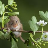 Adorable cute harvest mice micromys minutus on white flower foliage with neutral green nature background. Cute harvest mice micromys minutus on white flower stock photography