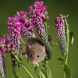 Adorable cute harvest mouse micromys minutus on red flower foliage with neutral green nature background. Cute harvest mouse micromys minutus on red flower stock image