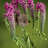 Adorable cute harvest mouse micromys minutus on red flower foliage with neutral green nature background. Cute harvest mouse micromys minutus on red flower stock images