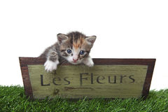 Adorable Cute Kitten in a Flower Box Royalty Free Stock Image