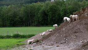 Adorable cute lamb leaves the green grass to join other lambs and sheep who are exploring a pile of dirt.