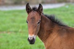 Adorable Cute little foal on green meadow, close-up shoot.  Stock Photography
