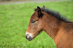 Adorable Cute little foal on green meadow, close-up shoot.  Stock Images