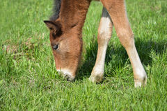 Adorable Cute little foal pasturing on green meadow, close-up shoot.  Royalty Free Stock Images