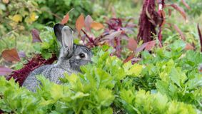 A adorable, Cute, little, gray rabbit Stock Images