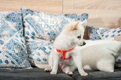 Adorable and cute little white German Spitz Mittel puppy dog sitting on the sofa.  Royalty Free Stock Photos