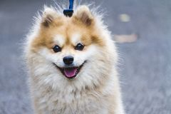 Adorable and Cute Pomeranian, Light Brown-White. stock photo