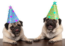 Adorable cute pug dog puppies singing and wearing birthday hat. Isolated on white background royalty free stock photography