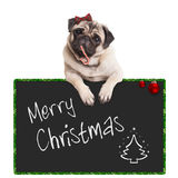 Adorable cute pug puppy dog eating candy cane, leaning on sign saying merry christmas, on white background. Adorable cute pug puppy dog eating candy cane Stock Photography