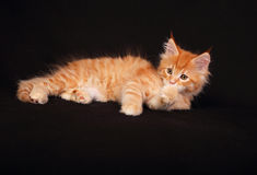 Adorable cute red solid maine coon kitten lying with beautiful b Royalty Free Stock Photo