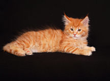 Adorable cute red solid maine coon kitten lying with beautiful b Stock Photos