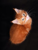Adorable cute red solid maine coon kitten sitting with beautiful Royalty Free Stock Image