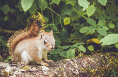 Adorable cute and small American Red Squirrel Royalty Free Stock Photos
