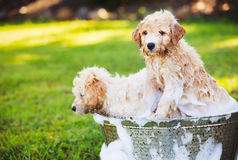 Adorable Cute Young Puppies Stock Images