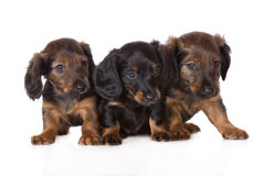 Adorable dachshund puppies. One month old dachshund puppies on white Stock Images