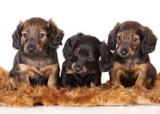 Adorable dachshund puppies Stock Image