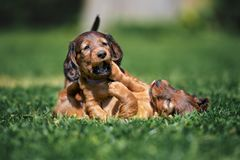 Adorable dachshund puppies playing outdoors in summer. Long haired dachshund puppies outdoors in summer stock image