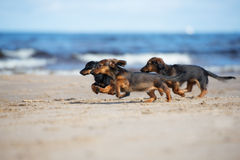 Adorable dachshund puppies running on the beach. Long haired dachshund puppies outdoors Royalty Free Stock Images