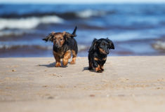 Adorable dachshund puppies running on the beach Stock Images