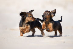 Adorable dachshund puppies running on the beach Stock Image