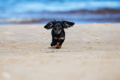 Adorable dachshund puppy on the beach Stock Photo