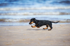 Adorable dachshund puppy on the beach Royalty Free Stock Photos