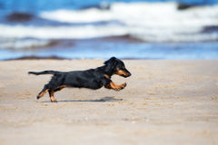 Adorable dachshund puppy on the beach Royalty Free Stock Photo