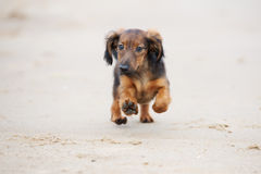 Adorable dachshund puppy running on the beach Stock Photography