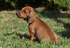 Adorable Dachshund puppy sitting in the garden Stock Images