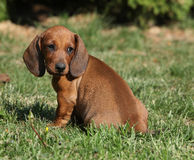 Adorable Dachshund puppy sitting in the garden Royalty Free Stock Photo